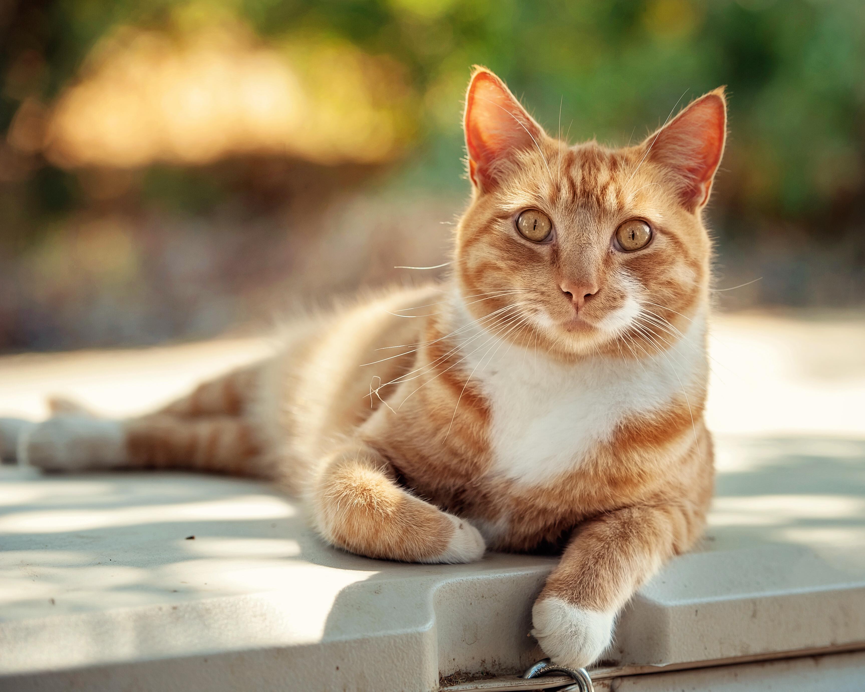 bob tail cat